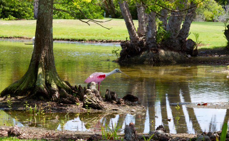 View of a pink bird on the stump of a tree in a pond at Manatee Golf Course